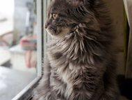 Котята Мейн кун чистокровные Котята Мейн кун - крупные, пушистые, с красивыми уш