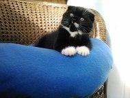 Фолд котенок полное великолепие Великолепный котик окрас биколор   Идеальные пор