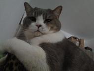 Кот скоттиш-страйт ищет невесту Кот Tanais Diamond Da Vinci развязан ищет невест