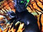 Изображение в Собаки и щенки Вязка собак Чихуахуа  Одинокий чихуахуа желает познакомится в Саранске 1500