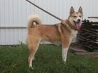 Фотография в Собаки и щенки Продажа собак, щенков Продаю высокопородных щенков Западно-сибирской в Арзамасе 10000