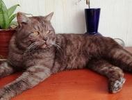 Отдам британского котика Отдам в добрые руки британского котика. Котик кастриров