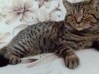 Фотография в Кошки и котята Вязка Молодой британец ждет свою невесту или поедет в Сарапуле 0