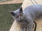 Фотография в Кошки и котята Продажа кошек и котят Окрас-пепельный, к туалету приучен, очень в Саратове 1500