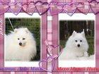 Фотография в Собаки и щенки Продажа собак, щенков Продаются щенки японского шпица, п-к Гратулари, в Саратове 30000