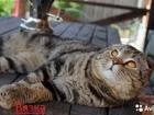 Фото в Кошки и котята Вязка Шотландский вислоухий кот (скоттиш-фолд) в Саратове 1500