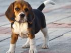 Фотография в Собаки и щенки Продажа собак, щенков Семья планирует завести щенка бигля (мальчика). в Саратове 5000