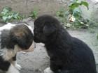 Фотография в Собаки и щенки Продажа собак, щенков Отдам в добрые руки щенков в возрасте около в Саратове 0