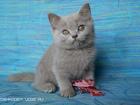 Фото в Кошки и котята Продажа кошек и котят Предлагается замечательный котик лилового в Саратове 8000