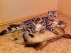 Уникальное изображение Вязка Вязка с шотландским котом 37160112 в Саратове