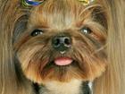 Уникальное фото Вязка собак Жених на вечер 37267144 в Саратове