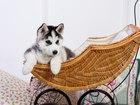 Фотки и картинки Сибирский хаски смотреть в Саратове