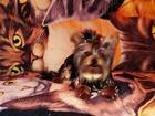 Смотреть фото Вязка собак Мальчик ждет 38327773 в Саратове