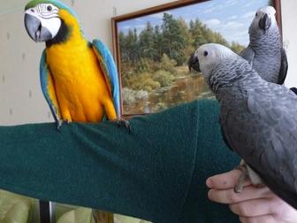 Просмотреть изображение  Продам крупных и средних попугаев различных видов от птенца до взрослой птицы, 37157253 в Саратове