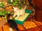 Изображение в   Два очаровательных котика 1, 5 мес в добрые в Сергиев Посаде 0