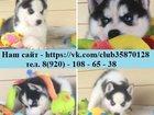 Изображение в Собаки и щенки Продажа собак, щенков Голубоглазые чёрно-белые щеночки хаски! Продам! в Сергиев Посаде 0