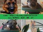 Фото в Собаки и щенки Продажа собак, щенков НЕМЕЦКОЙ ОВЧАРКИ ярких красивеенных щеночков в Сергиев Посаде 0