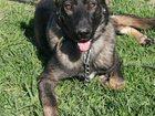 Фотография в   Отдам в добрые руки собаку, зовут Кент. Был в Сергиев Посаде 100