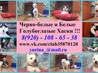 Сибирский хаски фото в Сергиев Посаде