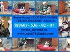 Фотки и картинки Сибирский хаски смотреть в Сергиев Посаде