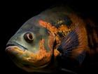 Изображение в Рыбки (Аквариумистика) Аквариумные рыбки Продам пару астронотусов больше 25 см. в в Серове 900