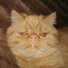 Приглашаем на вязку кота экзота