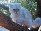 Фотография в Кошки и котята Продажа кошек и котят Персидская молодая кошечка возрастом 10 месяцев. в Севастополь 2000