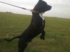 Свежее фото Вязка собак ВЯЗКА! 39200880 в Севастополь