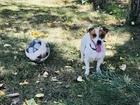 Скачать foto Вязка собак Кобель джек Рассел терьер ищет подругу для вязки 68128536 в Севастополь