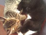 Отдам котят в Севастополе 2котёнка, симметричные. Д/р 28. 03. 2017  Севастополь,