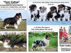 Фотография в Собаки и щенки Продажа собак, щенков Очаровательные щенки шелти ждут своих хозяев. в Северодвинске 25000