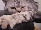 Новое изображение Вязка кошек Кот скоттиш-страйт на вязку 53574453 в Симферополь