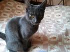 Скачать изображение Вязка кошек Молодая кошка породы Корат ищет любимого такой-же породы или такого же окраса 67146613 в Симферополь