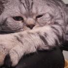 Кот скоттиш-страйт на вязку