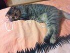 Новое изображение Кошки и котята Срочно нужен котик, Молодая шотландская вислоухая кошечка первый раз хочет котика, 32506369 в Смоленске