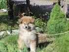Изображение в Собаки и щенки Продажа собак, щенков Питомник  Marvel Mood из Витебска продает в Смоленске 0