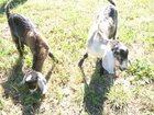 Скачать фото  Нубийские козлята 33246736 в Смоленске