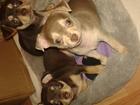 Фотография в Собаки и щенки Продажа собак, щенков РБ Витебск очаровательные щеночки от молодой в Смоленске 10000