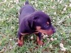 Изображение в Собаки и щенки Продажа собак, щенков чистокровные щенки добермана рождение 1. в Смоленске 20000