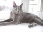 Изображение в Кошки и котята Вязка Активный ласковый котик в расцвете сил предлагается в Смоленске 2000
