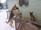 Изображение в Собаки и щенки Продажа собак, щенков кобель чёрно рыжего окраса, дата рождения в Смоленске 13000