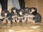 Фотография в   Производится запись на щенков чёрно-рыжего в Смоленске 10000