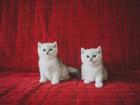 Фотки Британская короткошерстная смотреть в Смоленске