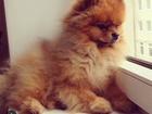 Изображение в Собаки и щенки Продажа собак, щенков Куплю шпица, белого, кремого или рыжево. в Сочи 4000