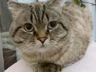Фото в Кошки и котята Вязка Шотландский кот ищет кошку на вязку (на котят в Сочи 1500