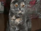 Фотография в Кошки и котята Вязка Молодая, красивая, здоровая кошечка британской в Солнечногорске 0