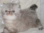 Фото в Кошки и котята Продажа кошек и котят Гималайский красавец - персидский котик колор-пойнт в Старая Купавна 0