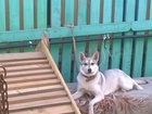 Фотография в   Пропала собака в районе Ямской церкви. Просьба в Старом Осколе 0