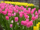 Фото в Домашние животные Растения Предлагаем оптом Тюльпаны к 8 Марта 2017, в Ставрополе 30