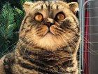 Фотография в Кошки и котята Вязка Клубный кот Марсель (шотландский вислоухий)приглашает в Ставрополе 1000